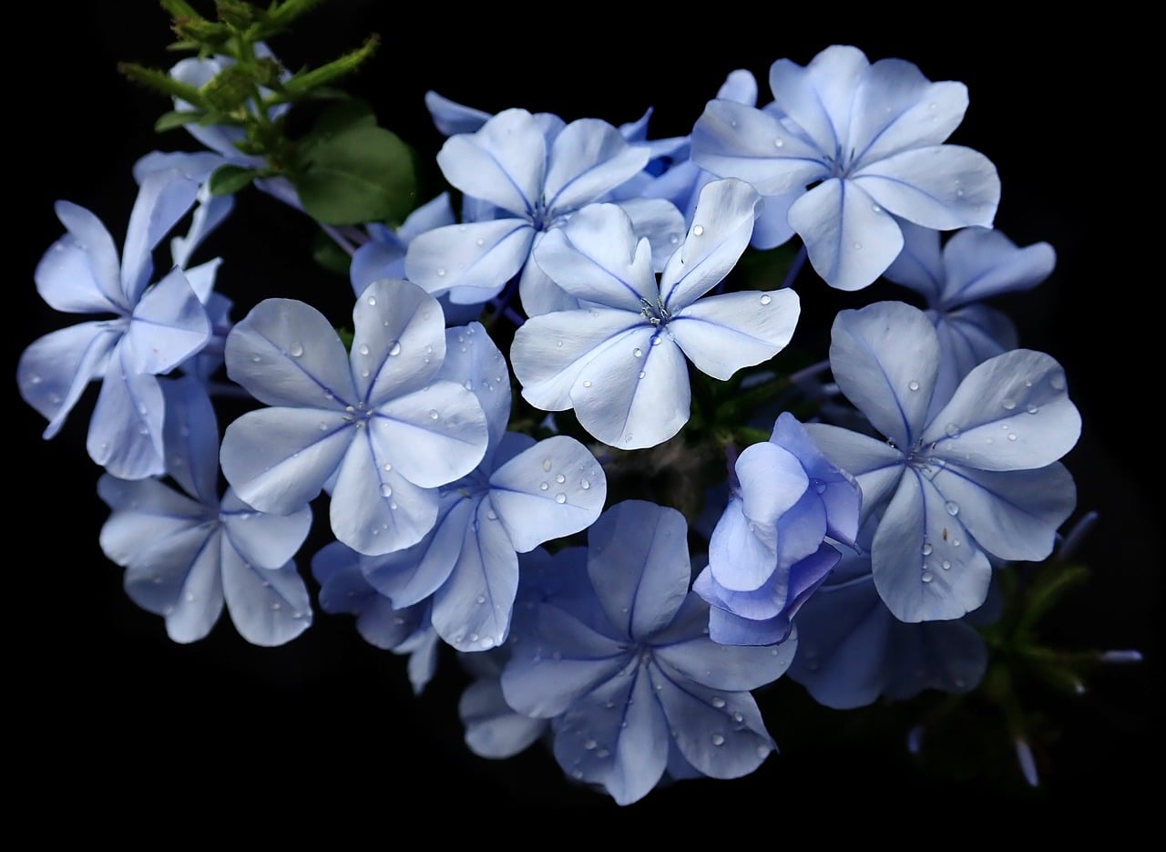 4 des fleurs de Bach pour avoir confiance en soi: Le Plumbago